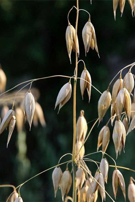 Oat field - oats nutrition facts oats benefits