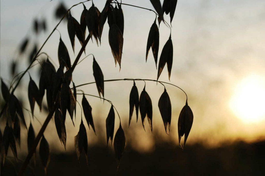 Oat sunset oats benefits oats nutrition
