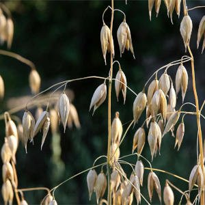 Oats nutrition facts| Health benefits of Scotland's traditional cereal